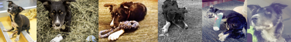 Ziggy the Three-Legged, Wonder Dog